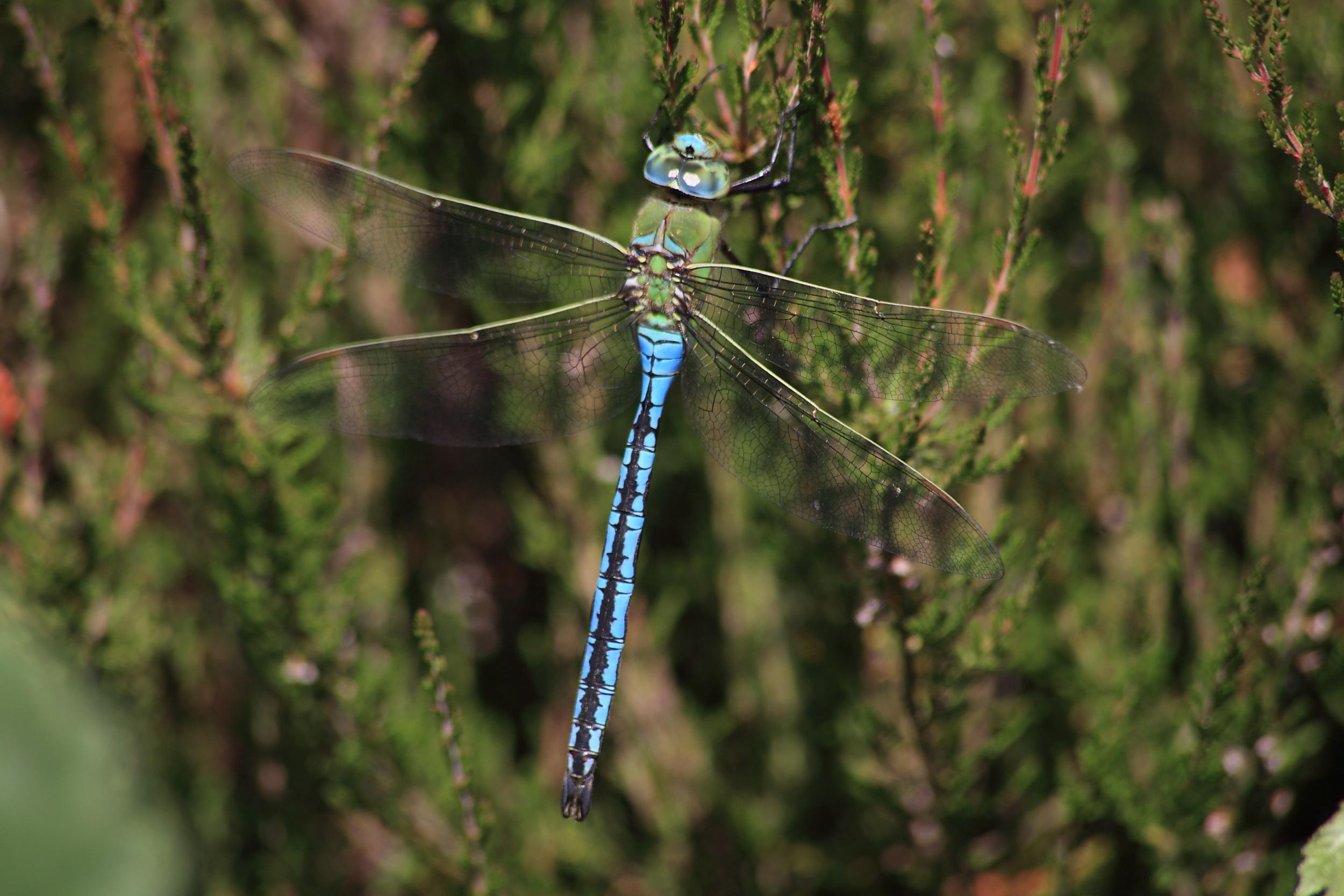 Emperor dragonfly on stem