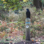 Carrion Crow on wooden post