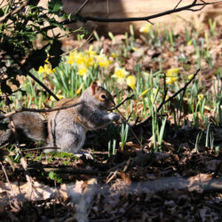 Wild daffodils and squirrel at Lesnes Abbey Woods