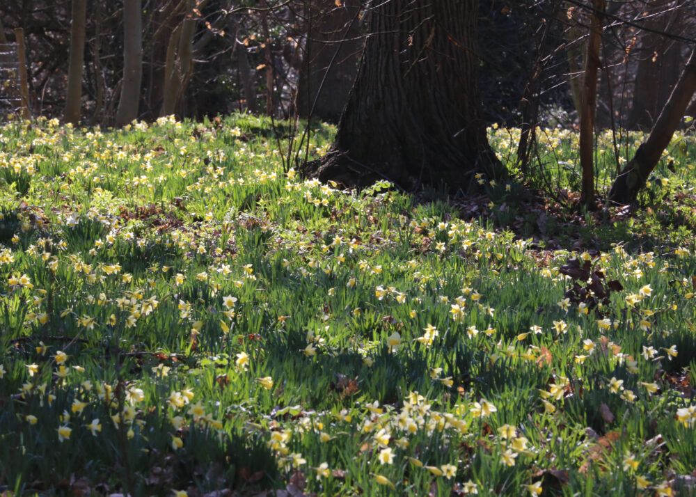 Wild daffodils in the woods