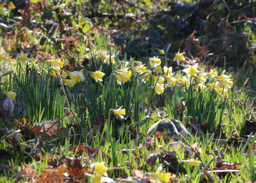 close up of wild daffodils