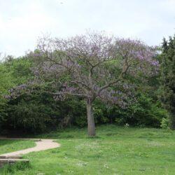 Fox glove Tree