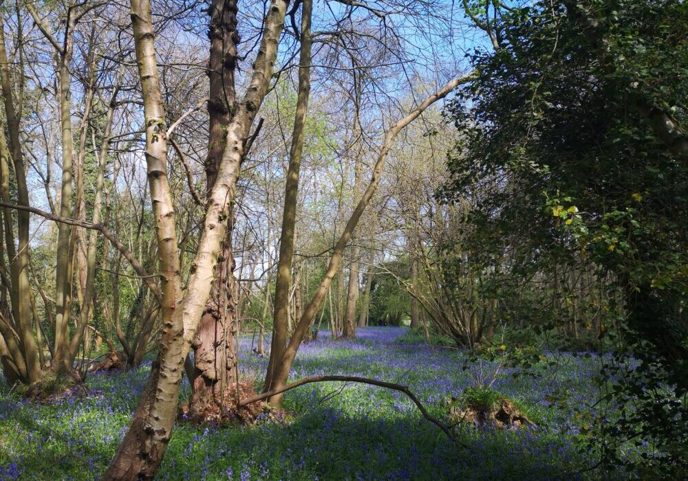 Bluebells in the woods
