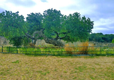 A gnarled old mulberry tree
