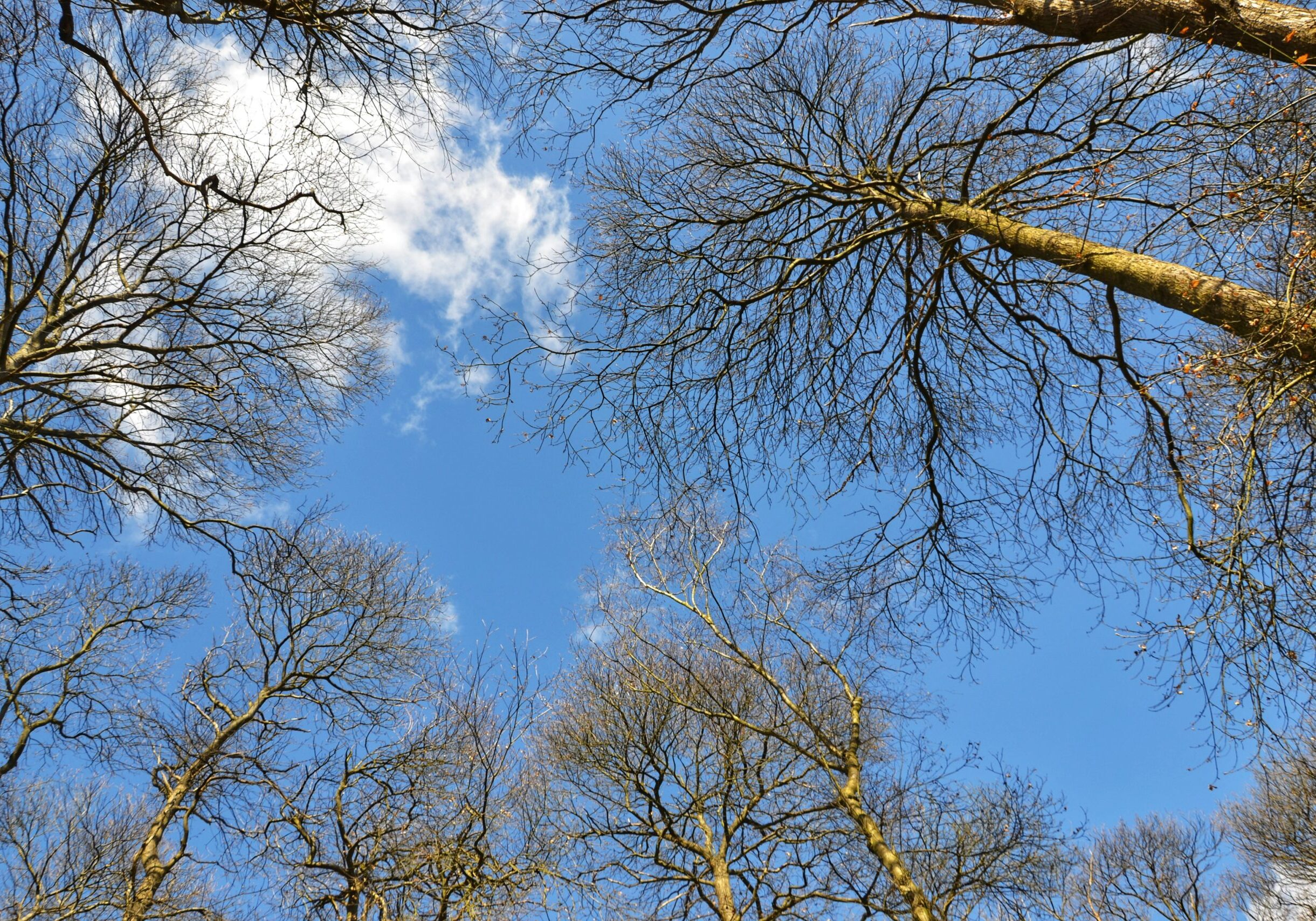 Looking up through the trees to a beautiful blue sky